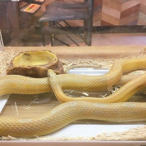 大阪アメリカ村スネークカフェのヘビ